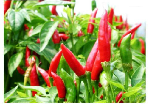 Introduction of Chinese Pepper Industry