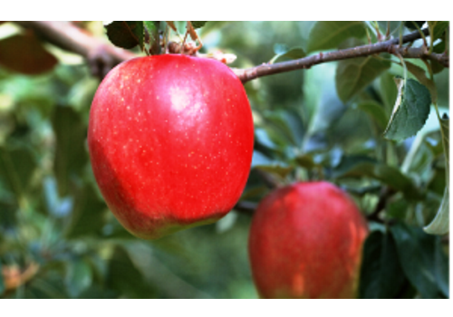 Introduction of Chinese Apple Industry