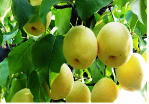 Introduction of Chinese Pear Industry