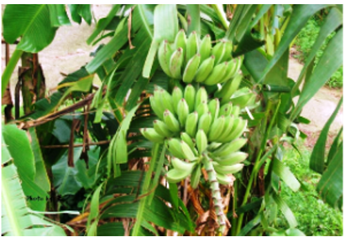 Introduction of Chinese Banana Industry