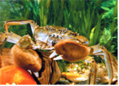 Introduction of Chinese River Crab Farming Industry