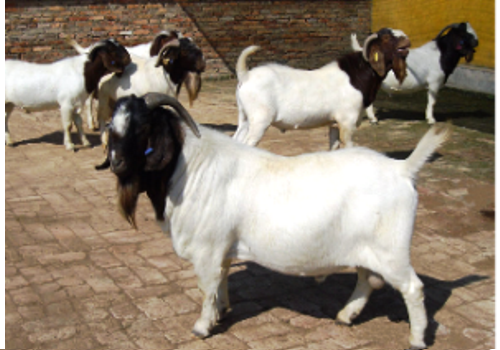 Fuping Dairy Goat Breeding Base--Shaanxi
