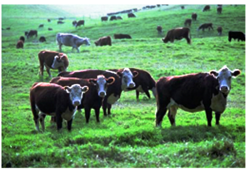 Yangxin Beef Cattle Breeding Area--Shandong