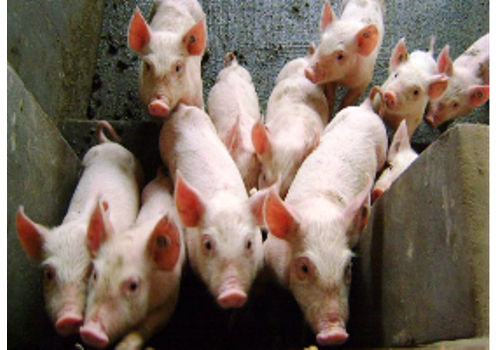 Summary of China Swine Industry