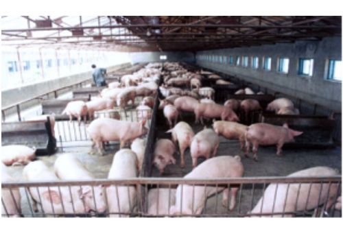 Bayan Live Pig Breeding Base--Heilongjiang