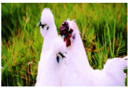 Dehui Chicken Breeding Area--Jilin